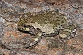 Gray Treefrog Camouflaged Against The Bark of a Maple Tree