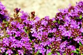 Intense Color Of Thyme Blossom