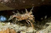 Tiger Shrimp by Hole in Lembeh Straits