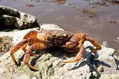 Crab (Erimacrus Isenbeckii )