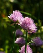 Chives In The Garden