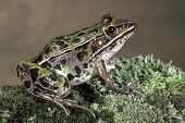 Leopard Frog On Green Mossy Log