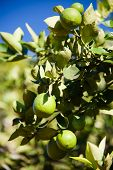 Ripe Limes Growing Outdoors