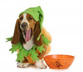 halloween dog - basset hound dressed up like a pumpkin sitting beside trick or treat bowl on white b