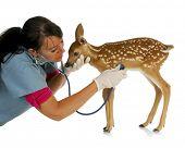dieren in het wild veterinaire care - behandelende dierenarts baby fawn geïsoleerd op witte achtergrond