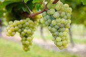 Riesling branco videira uvas maduras em queda na Alemanha