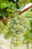 Ripe Riesling white vine grapes in vineyard in Germany