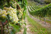 Vinhedo com uvas de Riesling maduro vinha branco na Alemanha