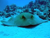 stock photo of fantail  - A Fantail Stingray on sand - JPG