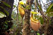 Nepenthes villosa also known as monkey pitcher plant, indigenous to the mountain of Sabah, Mount Kin