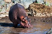 picture of hippopotamus  - Hippo - JPG