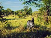 Zebra in grass on savanna, Africa. Safari in Serengeti, Tanzania
