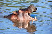 Hippo, hippopotamus with mouth open in river. Safari in Serengeti, Tanzania, Africa