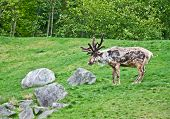 Large Reindeer Molting In Summer Pasture