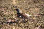 picture of snowbird  - snowbird on spring grass close up  - JPG
