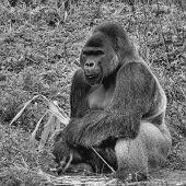 Una imagen blanco y negro de una sesión de gorila espalda plata hombre sosteniendo un pedazo de bambú