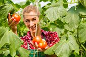Female gardener at market gardening or nursery with apron and vegetables harvest