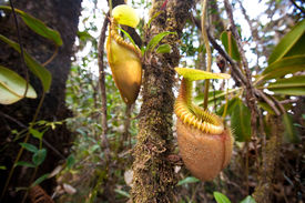 picture of nepenthes-mirabilis  - Nepenthes villosa also known as monkey pitcher plant - JPG