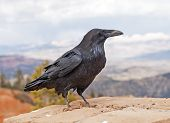 stock photo of omnivore  - Common Raven in Bryce Canyon National Park in Utah - JPG