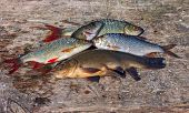 Raw Freshwater Fish On Old Wooden Board