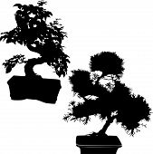 picture of bonsai  - spruce and ficus bonsai isolated on white background - JPG