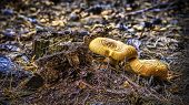 image of smut  - Two yellow mushrooms by the smutted loggat in the autumnal sunshine - JPG