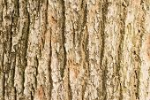 image of elm  - Bark of Elm background - JPG