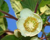 Kiwifruit Female Flower