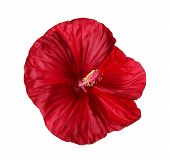 Isolated Flower Of A Deep Red Hibiscus