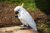 Umbrella Cockatoo Portrait 2