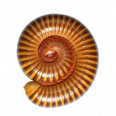 picture of millipede  - Millipede isolated isolated on the white background - JPG