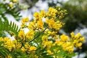 stock photo of cassia  - cassod tree cassia siamea or siamese senna is yellow flower which is edible plant