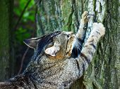 foto of claw  - Gray tabby cat sharpening claws on a tree - JPG