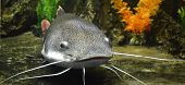 stock photo of glans  - catfish fish nature catfish ecology hunting fishing
