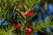 Red Yew Tree