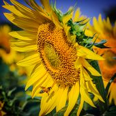 picture of bee keeping  - A bee collects nectar from sunflower - JPG