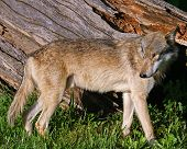 picture of coyote  - Coyote standing in front of a log - JPG