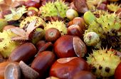 stock photo of beechnut  - Closeup of horse chestnuts acorns beechnuts and cobnuts in fall colors - JPG