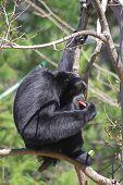 Siamang Gibbon 2