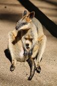foto of wallabies  - Australian wallaby with joey in pouch in rural NSW - JPG