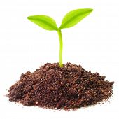 stock photo of photosynthesis  - Young seedling growing in a soil - JPG