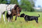 Ponies and dog in field