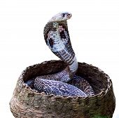 foto of garden snake  - Cobra Snake in basket in white background - JPG