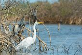 Great White Egret With Perched Long-tailed Cormorants In Mangroves