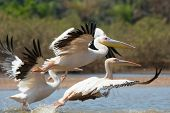 Great White Pelicans Taking Off