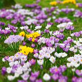 Wild crocus flowers: tilt and shift effect