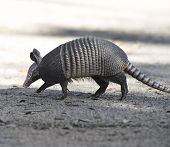 Armadillo Crossing The Road In Florida