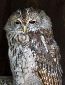 The Tawny Owl (strix Aluco)