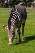 Equus Grevyi, Grevy's Zebra