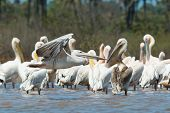 Pink-backed Pelican Soars Past A Squadron Of White-backed Pelicans